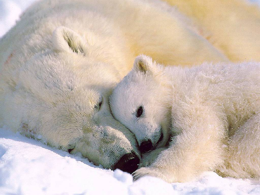 http://ott.web.cern.ch/ott/greenland/Polar_Bear_001.jpg